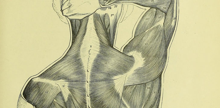 The surface muscles of the trunk and upper limb, from Anatomy for artists
